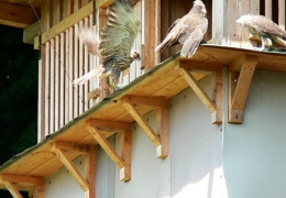 Falcons Mohr falconry