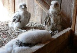 Falcons Mohr falconry