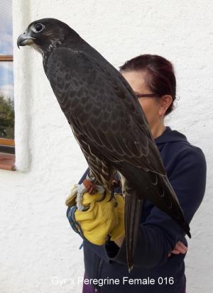 Falcons Mohr - Gerwanderfalke weiblich