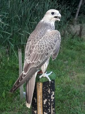 Falcons Mohr - التلفيف القطامي الصقور الإناث