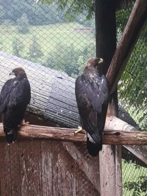Falcons Mohr - gyr-peregrine falcon female
