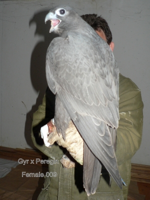 Falcons Mohr - gyr-peregrine falcon female
