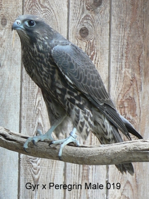 Falcons Mohr - gyr-peregrine falcon male