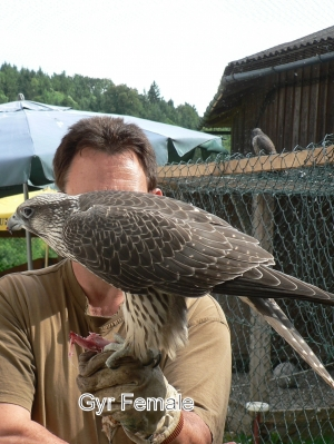 Falcons Mohr - gyrfalcon female