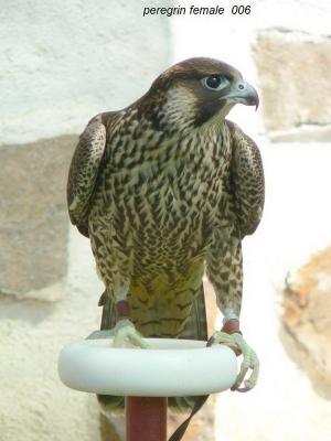 Falcons Mohr - peregrine falcon female