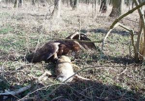 Falcons Mohr - النسور الذهبية الصيد