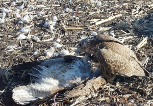 Falcons Mohr - Golden Eagle Hunting