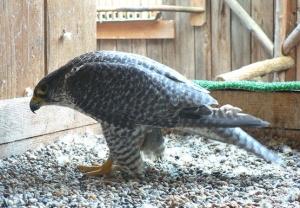 Falcons Mohr - gyrfalcons