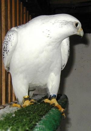 Falcons Mohr - الصقور التلفيف