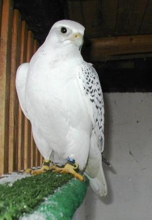 Falcons Mohr - gerfalken