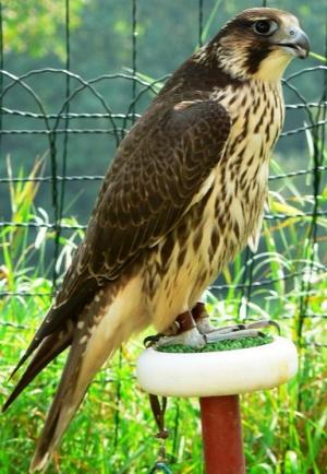 Falcons Mohr - Gerwanderfalken