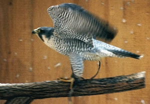 Falcons Mohr - peregrines