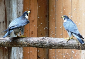 Falcons Mohr - القطامي