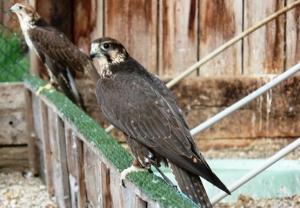 Falcons Mohr - saker falcons