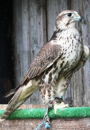 Falcons Mohr - صقر الصقور