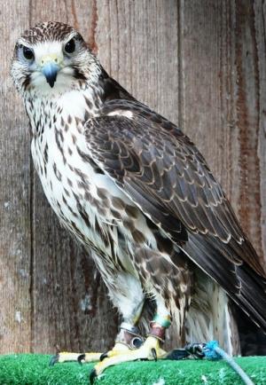 Falcons Mohr - Saker