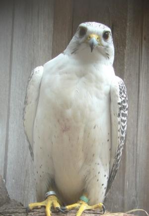 Falcons Mohr - gyr saker falcons
