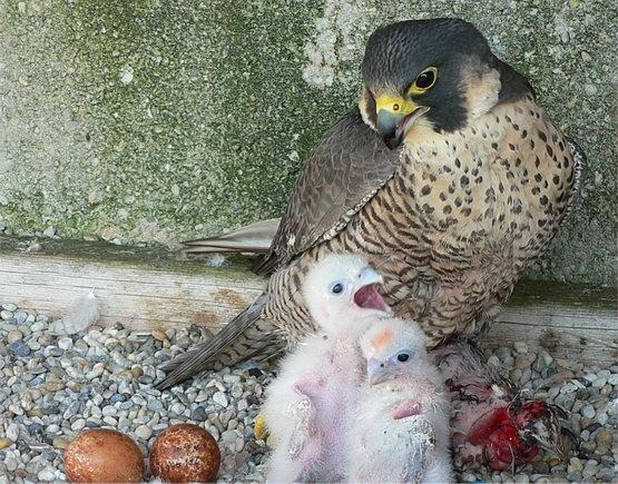 Falcons Mohr - ...