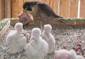 Falcons Mohr - falcons breeding