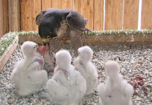 Falcons Mohr - falcons breeding